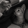 Motion Kittens 50 (peter_hasselbom) Tags: cat cats kitten kittens abyssinian 10weeksold play playfight playing game hunt fight naturallight bw blackandwhite 50mm 2cats twocats 2kittens twokittens motionblur