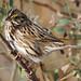 Savannah Sparrow - Passerculus sandwichensis, Chincoteague National Wildlife Refuge, Chincoteague, Virginia
