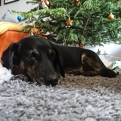 365-001 Miku under the tree [explore] (Christine Schmitt) Tags: dog christmas tree sleeping explore explored new 365the2018edition day1365 01jan18 3652018