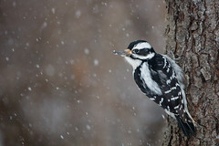 Hairy Woodpecker (zeroskilz) Tags: bird nature wildlife woodpecker hairy indiana mike timmons