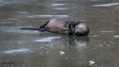 Rolling River Otter (flintframer) Tags: river otter muscatatuck nwr indiana rolling ice nature wildlife wow dattilo canon eos 7d markii ef100400mm