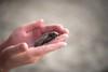 Little loggerhead turtle (albertlondon) Tags: turtle seaturtle loggerhead nicaragua flores
