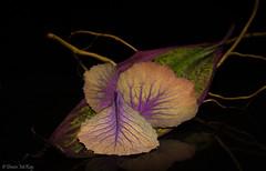 Fallen Petals (Denise McKay) Tags: flower macro cabbage purple floral nature