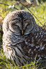 "Barred Owl (Catherine ""Cat"" Rose) Tags: ridgefieldrefuge barred owl"