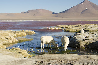 Laguna colorada (Uyuni, Bolivia)