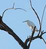 Snowy Egret (Egretta thula); Tucson, AZ, Sweetwater Wetlands [Lou Feltz] (deserttoad) Tags: bird wildbird nature wader egret white arizona water tree behavior