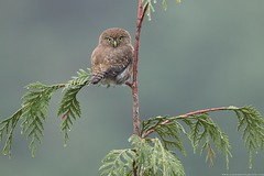 Northern Pygmy-Owl (www.connorstefanison.com) Tags: glaucidium gnoma northern pygmy owl vancouver british columbia connor stefanison female rufous workshop winter perched red cedar