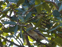 American Goldfinch (Cajunspice) Tags: americangoldfinch mpp