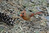 Northern Cardinal female by Jackie B. Elmore 12-18-2017 Lincoln Co. KY (jackiebelmore) Tags: cardinaliscardinalis northerncardinal lincolnco kentucky nikon7100 tamronsp150600f563 jackiebelmore