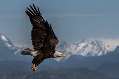 Bald Eagle (Eric Gofreed) Tags: alaska2015 baldeagle eagle homer