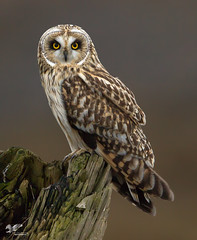 Beautiful Blonde (Short-Eared Owl) (The Owl Man) Tags: roosting hunting shortear boundarybay ngc