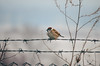 Cold morning (Inka56) Tags: fences crazytuesdaytheme 7dwf bird sparrow sky barbedwire wire fence winter bokeh