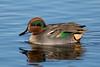 Teal (Simon Stobart) Tags: teal male anas crecca water swimming northeast england coth5 ngc npc