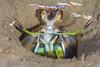 mantisshrimp2Nov3-17 (divindk) Tags: anacapa anacapaisland californiaunderwater channelislands channelislandsnationalpark hemisquillaensigera mantisshrimp sanmiguelisland santabarbara santacruzisland santarosaisland stomatopoda underwater ventura californiamantisshrimp color diverdoug eyes marine ocean sea underwaterphotography