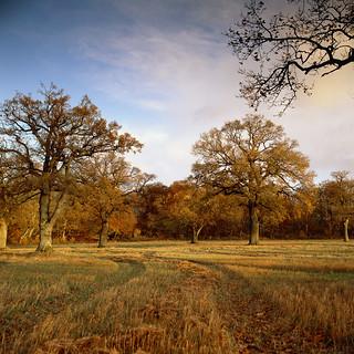 Oaks at sunrise