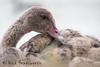 Young feathers (ʘwl) Tags: panasonic gx8 100400mm leica dg vario bird wildlife victoria australia mirrorless black swan ballarat lake wendouree feathers waterbird wetland blackswan