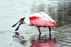 Roseate Spoonbill (c) 2017 Walter Hackenjos all rights reserved