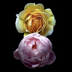 Rose & Peony (Pixel Fusion) Tags: rose peony flower flora nature macro nikon d600