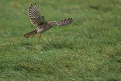 R17_0646 (ronald groenendijk) Tags: cronaldgroenendijk 2017 falcotinnunculus rgflickrrg animal bird birds birdsofprey groenendijk holland kestrel nature natuur natuurfotografie netherlands outdoor ronaldgroenendijk roofvogels torenvalk vogel vogels wildlife