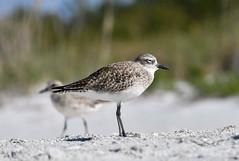Black-bellied Plover (Kremlken) Tags: shorebirds plovers beach basicplumage florida birds birding nikon500