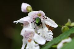 Scarab beetle on Prostanthera lasianthos 3030 (Mike Bayly) Tags: taxonomy:binomial=prostantheralasianthos geo:country=australia prostanthera prostantheralasianthos lamiaceae arfp nswrfp vrfp cooltemperatearf warmtempewratearf subtropicalarf arfflowers whitearfflowers