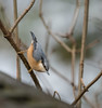 Nuthatch Stockgrove CP 27-12-2017-0369 (seandarcy2) Tags: nuthatch birds wildlife stockgrove cp heath and reach beds uk woodland