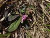 Polygala latouchei (Smalltown Huang) Tags: polygala polygalaceae