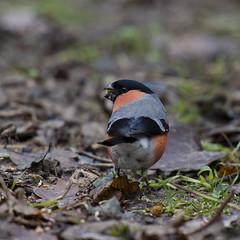 Goudvink (fr@nspelsmaekers) Tags: pyrrhulapyrrhula gimpel bullfinch bouvreuilpivoine goudvink