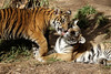 Brotherly Love (greekgal.esm) Tags: bengaltiger tiger cub babyanimal bigcat cat feline animal mammal carnivore moka sumatrantiger rakan sandiegozoosafaripark sandiegozoo safaripark escondido sandiegozooglobal sdzglobal sdzsafaripark sony rx10m3 rx10iii