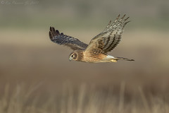Northern Harrier (Ken Phenicie Jr.) Tags: northernharrier flight hunting mountainview adult
