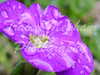 Flower Aubreta 'Kitte' (traceymepham) Tags: flower nature natural tracey mepham photography andover hampshire wall art picture photo aubreta kitte purple water rain drop drops droplets