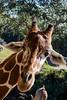 Giraffe at the Brevard Zoo in Melbourne, Florida. (Glotzsee) Tags: nature florida brevardcounty melbourne brevardzoo zoo zooanimals zoosofnorthamerica animal mammal giraffe