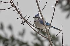 Blue Jay / Geai bleu (shimmer5641) Tags: cyanocittacristata bluejay geaibleu crowsmagpiesjaysfamily britishcolumbiacanada birdsofbritishcolumbia birdsofnorthamerica songbird