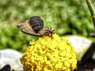 Cerodirphia cf. vagans - Cerodirphia Moth (Walker, 1855)