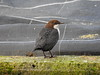 Black-bellied Dipper (Corine Bliek) Tags: vogel vogels birds birding bird insectivorous waterval water stream stroom nature natuur wildlife winter tree wood