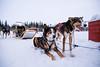 Husky Adventures Norway (Amren1985) Tags: husky adventures panasonic gx80 gx 80 blue eyes snow winter minus cold micro four third dogs norway europe sled experience panasonic1235mmf28x