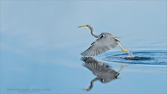 Tricolored Heron Lift off (Raymond J Barlow) Tags: workshop florida nature phototour raymondbarlow tricolored heron