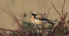 First on the 1st ............... (nick.linda) Tags: desertwheatear oenanthedeserti wheatear whitby coast newyearsday northyorkshire wildandfree canon7dmkii sigma150600c