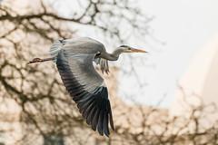 Urban Grey (DavidHowarthUK) Tags: london regentspark december 2017 greyheron ardeacinerea flight flying birdflying