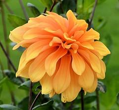 Yellow-tipped Orange Dahlia (Pat's Pics36) Tags: nikond7000 nikkor18to200mmvrlens usa washington semiahmoo packersresort dahlia orange