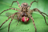 Araña/ Spider (Familia Ctenidae) (Jacobo Quero) Tags: spider ctenidae ecuador araña mindo caza mosca fly animal insect wildlife macro insecto arácnido