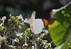 Hebomoia glaucippe borneensis (tristanba) Tags: lepidoptera pieridae