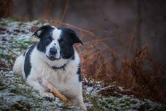 Always take your stick (JJFET) Tags: border collie dog sheepdog