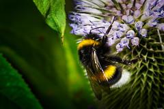 Harvesting (Rico the noob) Tags: dof bokeh nature d500 switzerland outdoor insect 105mm animal bumblebee 2017 macro schweiz 105mmf28 animals published zurich schlieren closeup