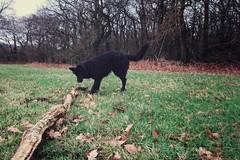 This stick isn't too big for me 🐕 (Jos Mecklenfeld) Tags: totoro dutchshepherd dutchshepherddog hollandseherdershond hollandseherder höllandischerschäfferhund shepherd shepherddog herdershond herder schäferhund dog hund hond sonyxperiaz5 xperia forest wald bos terapel westerwolde groningen netherlands niederlande nederland