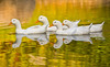 Duck Duck Duck Duck Go (Michel Filion) Tags: duck ducks nature water pond whiteducks outdoors quack floating riding inline tamronlens canon7dmarkii