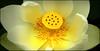 Yellow (na_photographs) Tags: lotos lotus blume blüte seerose lotosblume gelb yellow blossom