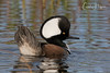 Hoodie (Carol Huffman) Tags: birds wildlife hoodedmerganser fl florida vierawetlands wetlands