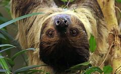 twotoed sloth artis BB2A6951 (j.a.kok) Tags: luiaard tweetenigeluiaard twotoedsloth zuidamerika southamerica animal mammal zoogdier dier artis