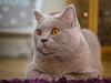 Big Girl (Jens Haggren) Tags: zoe cat katt britishshorthair brittiskkorthår lilac lila